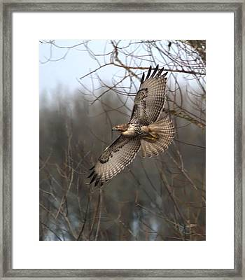 Hawk In Flight Framed Print by Angie Vogel