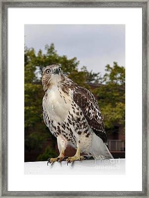 Hawk Framed Print by Luke Moore