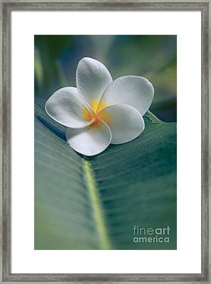 He Aloha No O Waianapanapa - White Tropical Plumeria - Hawaii Framed Print by Sharon Mau