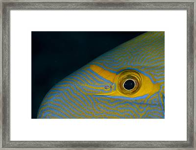 Head Pattern Of Eyestripe Surgeonfish Framed Print by Science Photo Library