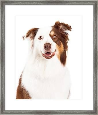 Head Shot Of Beautiful Border Collie Framed Print by Susan  Schmitz