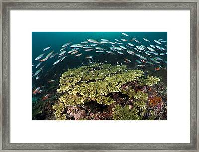 Healthy Hard Corals Surrounded Framed Print by Matthew Oldfield