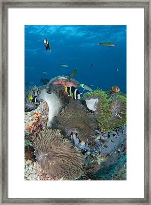 Healthy Reef Scene With Anemonefish Framed Print by Science Photo Library