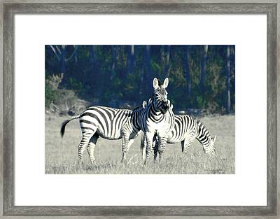 Hearst Castle Zebra Hearst Ranch 2 Framed Print by Barbara Snyder