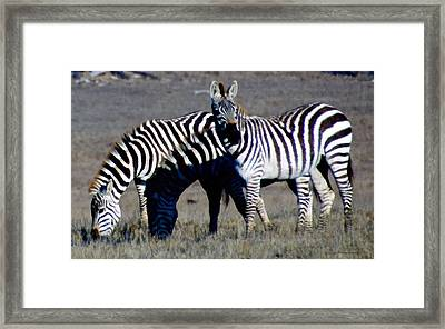 Hearst Castle Zebra Hearst Ranch Framed Print by Barbara Snyder