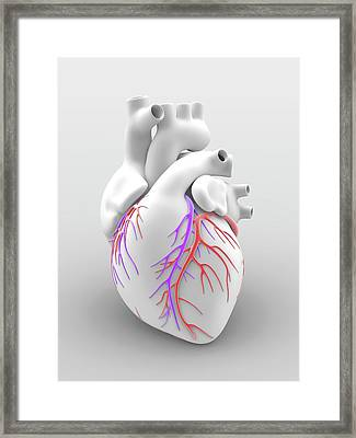 Heart And Coronary Arteries Framed Print by Alfred Pasieka