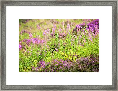 Heather And Rose Bay Willowherb Framed Print by Ashley Cooper