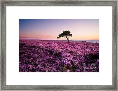 Heather At Sunset Egton Moor Framed Print by Janet Burdon