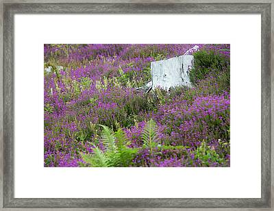 Heather Growing Framed Print by Ashley Cooper