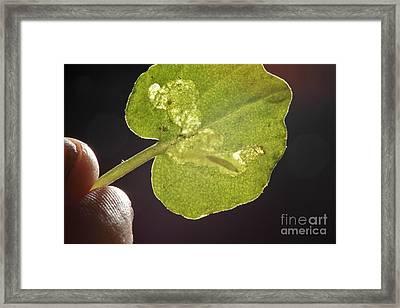 Heatleaf Bittercress With Leaf Miner Framed Print by Greg Dimijian