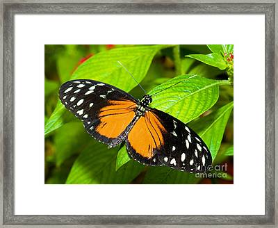 Hecale Butterfly Framed Print by Millard H. Sharp