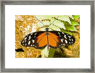 Hecale Longwing Butterfly Heliconius Framed Print by Millard H. Sharp