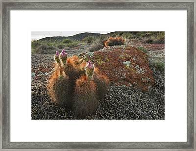 Hedgehog Cactus (echinocereus Sp Framed Print by Larry Ditto