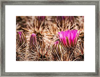 Hedgehog Cactus Flower And Buds Framed Print by  Onyonet  Photo Studios