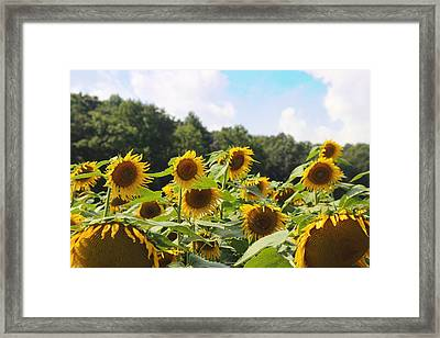 Helianthus Patch 4 Framed Print by Cathy Lindsey