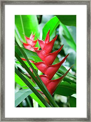 Heliconia, Diamond Botanical Gardens Framed Print by Susan Degginger
