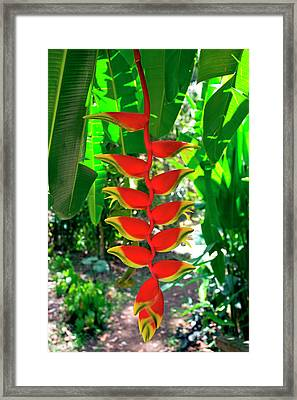 Heliconia Rostrata, Grenada, West Indies Framed Print by Susan Degginger