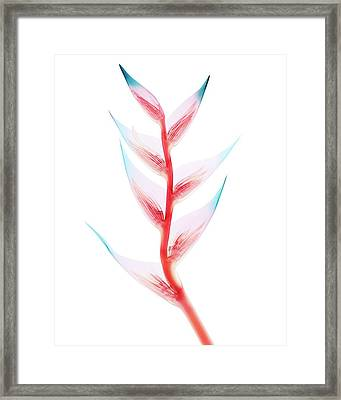 Heliconia Sp. Bracts Framed Print by Brendan Fitzpatrick