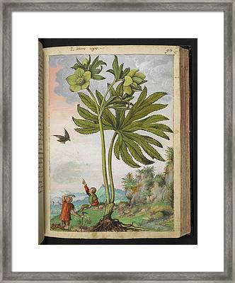 Helleborus Viridis Framed Print by British Library