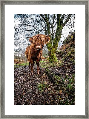Hello Cow Framed Print by Adrian Evans