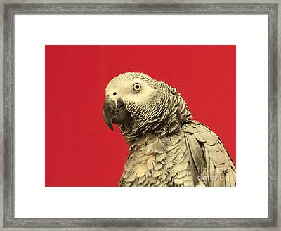 Hello There - Amazon Gray Parrot  Framed Print by Inspired Nature Photography Fine Art Photography