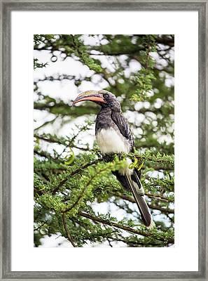 Hemprichs's Hornbill (tockus Hemprichii) Framed Print by Peter J. Raymond