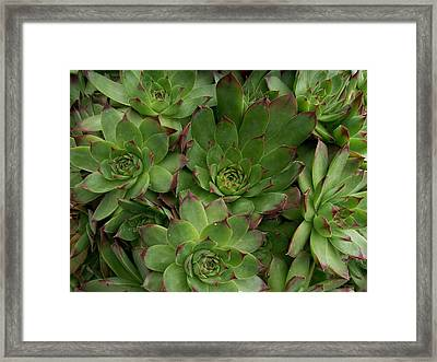 Hen And Chicks Framed Print by Sharon Duguay
