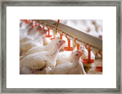 Hens Feeding From Plastic Containers Framed Print by Aberration Films Ltd