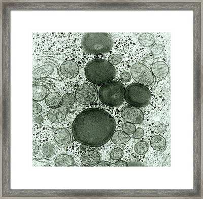 Hepatocyte Liver Cell Framed Print by Secchi-lecaque/roussel-uclaf/cnri