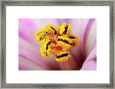 Herb Robert Flower Framed Print by Karl Gaff