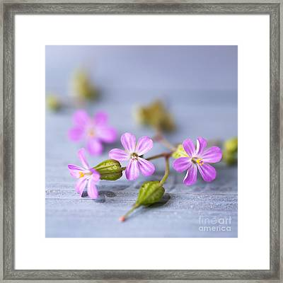 Herb Robert Framed Print by Jan Bickerton
