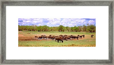 Herd Of Cape Buffaloes Syncerus Caffer Framed Print by Panoramic Images