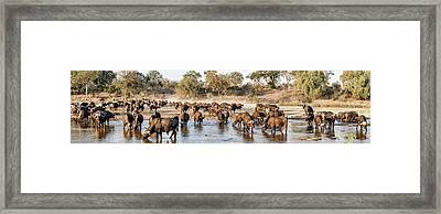 Herd Of Cape Buffalos Syncerus Caffer Framed Print by Panoramic Images