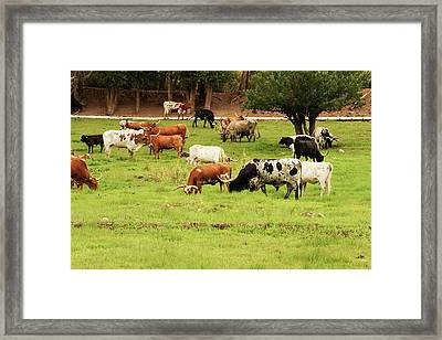 Herd Of Texas Longhorn Cattle In Green Framed Print by Piperanne Worcester