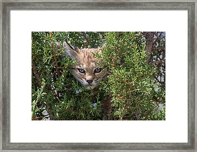 Here Kitty Kitty Framed Print by Sandy Sisti