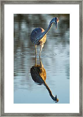 Heron Looking At Its Own Reflection Framed Print by Andres Leon