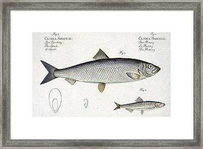 Herring Framed Print by Andreas Ludwig Kruger