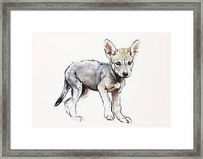 Hesitating Arabian Wolf Pup Framed Print by Mark Adlington