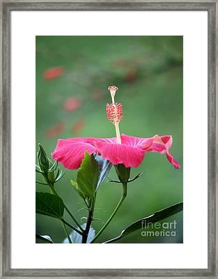 Hibiscus Ballerina Framed Print by Sabrina L Ryan