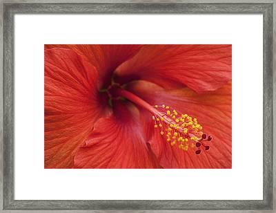 Hibiscus Bloom Framed Print by Chris Austin