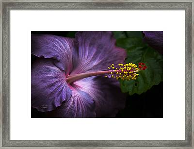 Hibiscus Bloom In Lavender Framed Print by Julie Palencia