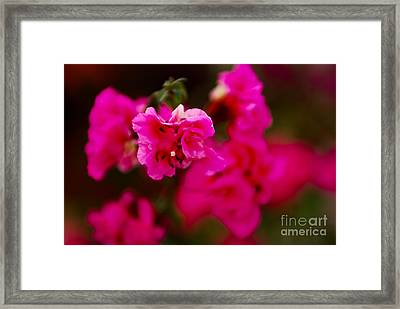 Hiding In Pink Framed Print by Syed Aqueel