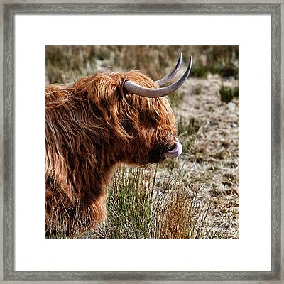 Highland Coo With Tongue In Nose Framed Print by John Farnan
