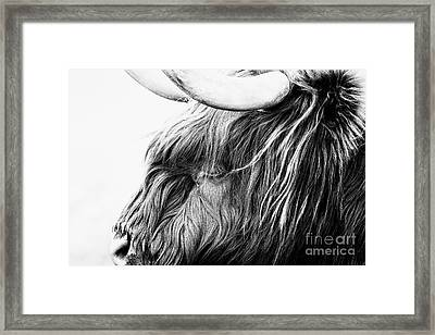 Highland Cow Mono Framed Print by John Farnan