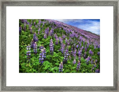 Hillside Lupines Framed Print by Donna Kennedy