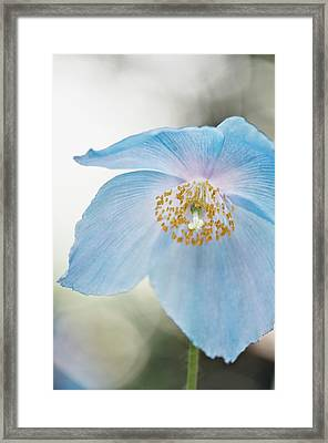 Himalayan Poppy (meconopsis Sp.) Framed Print by Maria Mosolova