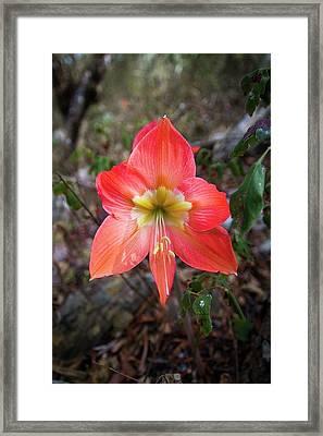 Hippeastrum Belladonna Flower Framed Print by Paul Williams