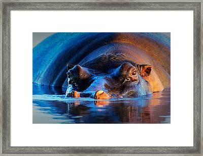 Hippopotamus  At Sunset Framed Print by Johan Swanepoel