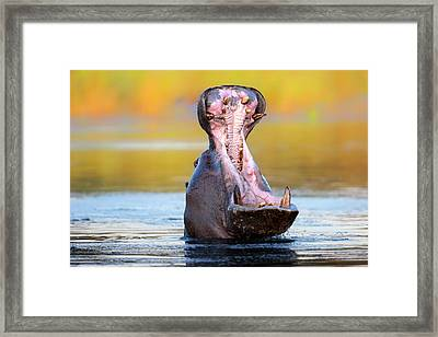 Hippopotamus Displaying Aggressive Behavior Framed Print by Johan Swanepoel