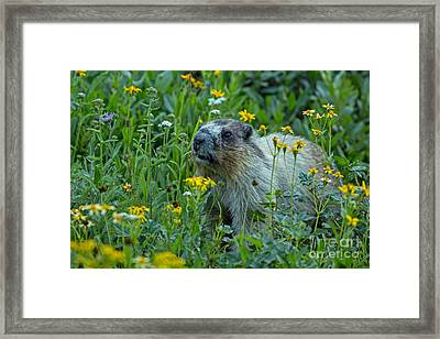Hoary Marmot In Glacier Np Meadow Framed Print by Natural Focal Point Photography